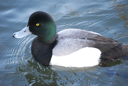 Greater scaup LMO 2 | by THE Holy Hand Grenade!