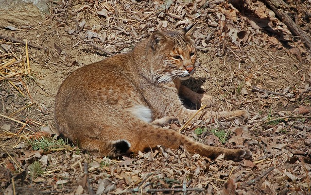 Bobcat at rest