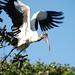 Cigüeña Americana - Photo (c) Carol Foil, algunos derechos reservados (CC BY-NC-ND)