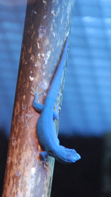 Electric-blue day gecko