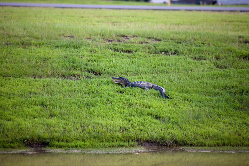 alligator southcarolina goosecreek project365 10millionphotos canonef200mmf28liiusm