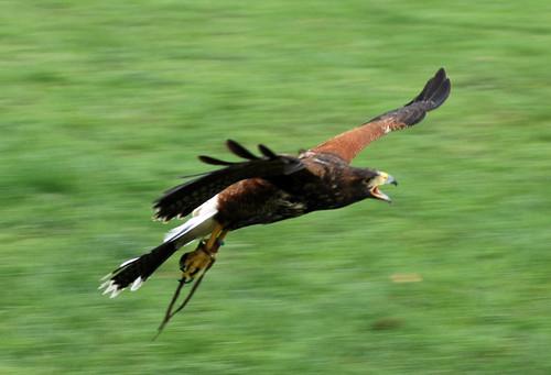 White Tailed Sea Eagle?