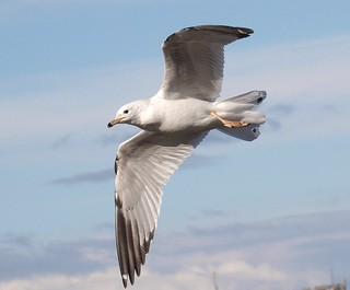 Ring-billed Gull 4 (hringmáfur) | by Svenni and his Icelandic birds.