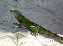 Iguana on Seven Mile Beach, Grand Cayman