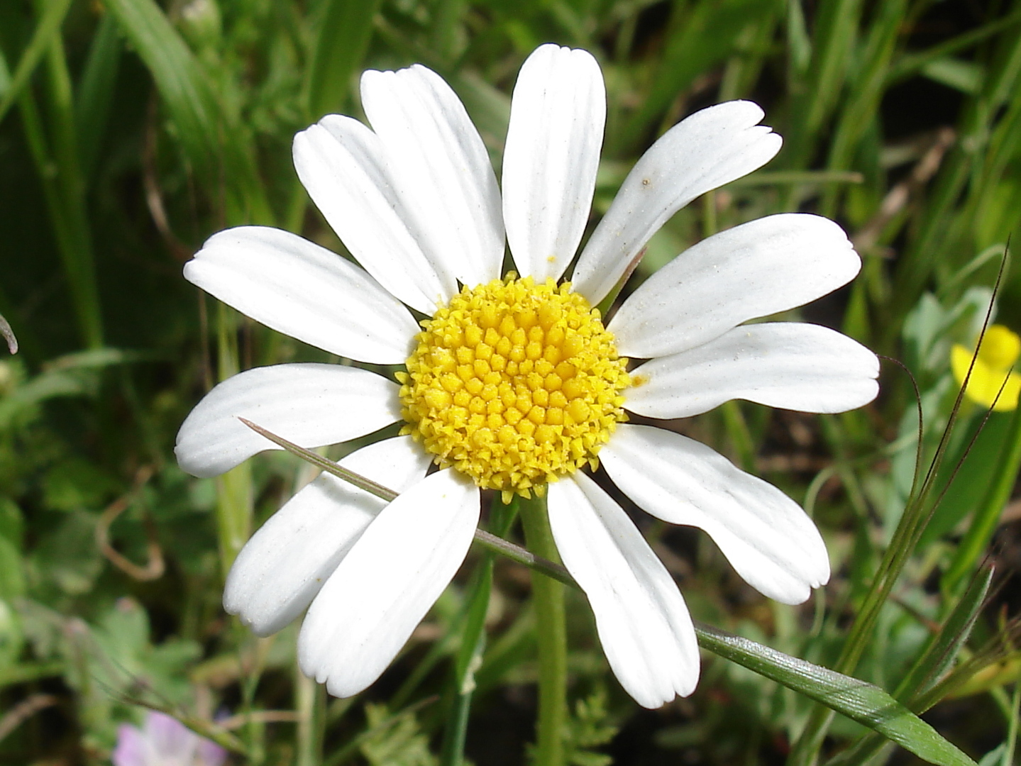 Chamomile   Best Spring Herbs To Grow in Your Garden   best herbs to grow