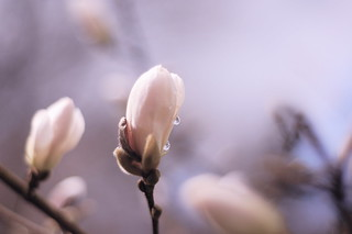 magnolia, you sweet thing | by this lyre lark