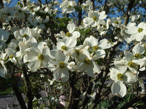 Flowering Dogwood | by Drew Avery