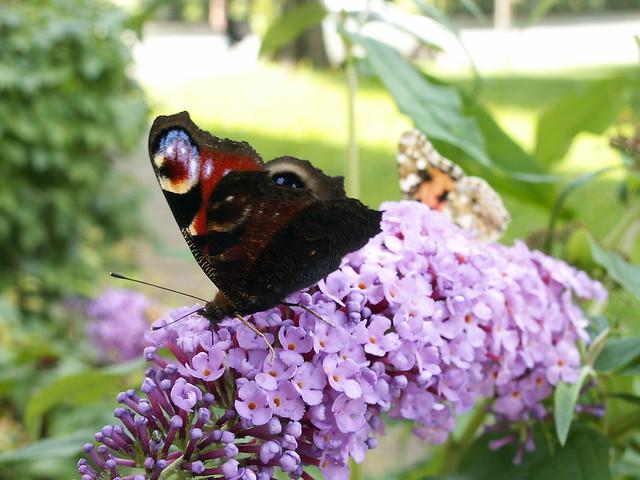 Der Knabe schrie Schmetterling du mußt stärkere einsetzen, sonst ziert es nicht, schwinget nicht, da war es nackt, Mißgeburt und in Fetzen,  dem Knaben das Herze bricht, wer sich erkennt im Knaben gut, der sei vor Füchsen in Dresden auf seiner Hut 111