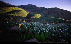 california spring flower | by simonsun08