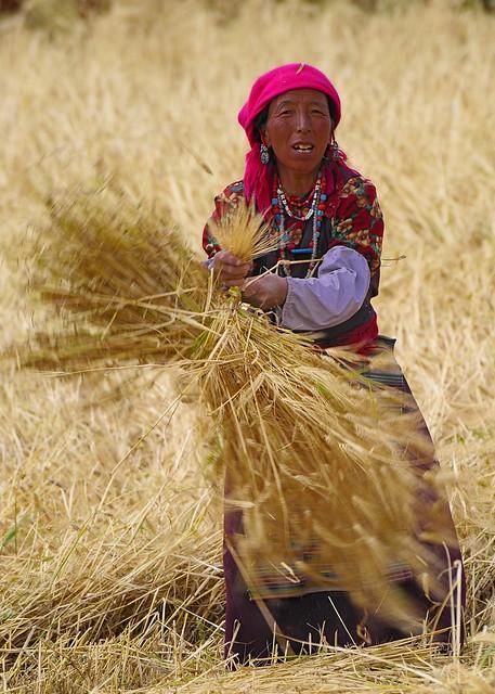 Gonkha , Tibet, harvest (ston len pa )time