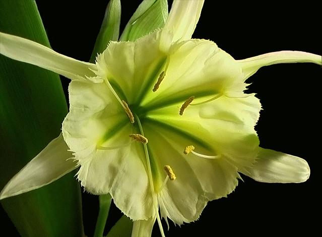Ismene (Hymenocallis) 'Sulphur Queen'