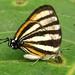Butterflies Bigal River Biological Reserve