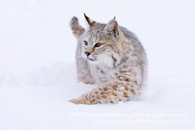 Bobcat in Snow, MT