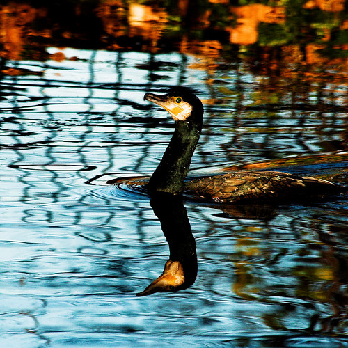 blue orange colour reflection bird london cormorant valerie merton wmp morden featheryfriday waler may09 abigfave canoneos400d ravensburypark holidaysvacanzeurlaub canonef70300mmis pearceval