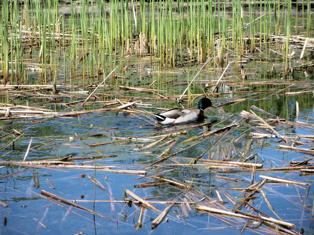 05 - Duck in Pond by Canal