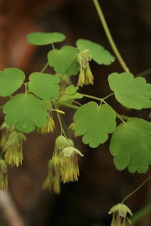 Thalictrum dioicum staminate flowers | by dogtooth77