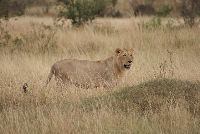 Lion - Masai Mara National Reserve, Kenya.  05.08.2008