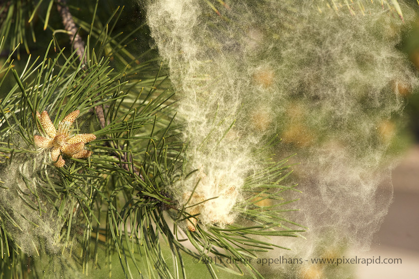Pine Tree Pollen | Pine Trees dumping their pollen     | Dax