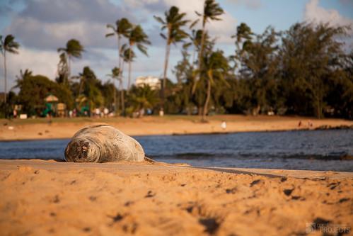 ocean light sunset water hawaii golden sand sleep wildlife monk seal kauai endangered protected poipubeach