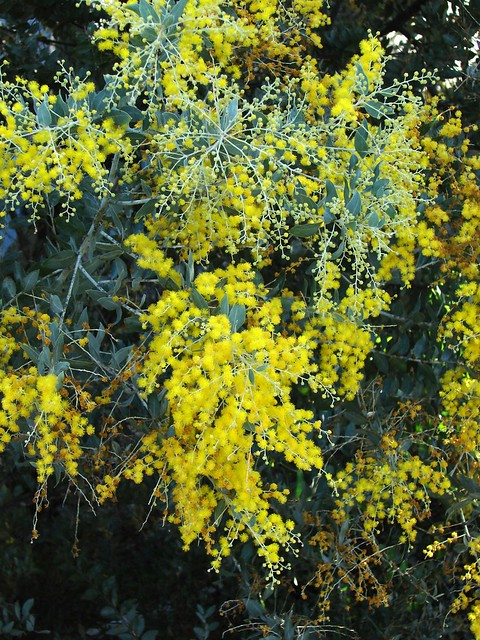 Queensland Silver Wattle Acacia Podalyriifolia Tatters Flickr