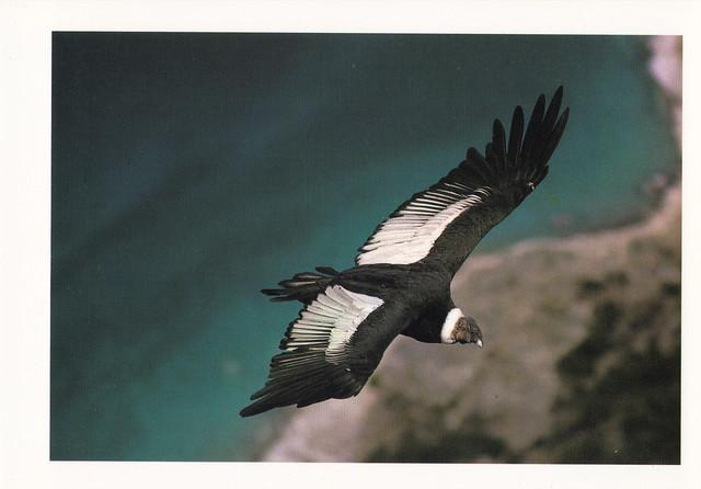 Andean Condor Postcard