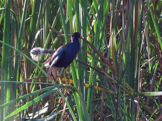 Purple Gallinule | by magnificentfrigatebird