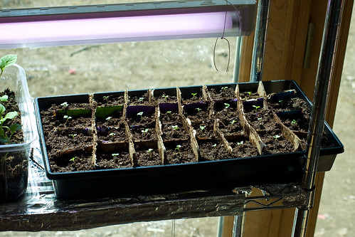 Humble Garden: DIY flat dividers - cabbage starts   by nikaboyce