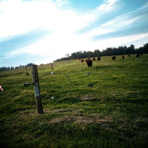 120 6x6 film cattle farm fujifilm mamiyac220 fujicolor c41 alamancecounty snowcamp 80mmf28 canecreekfarm pro100s