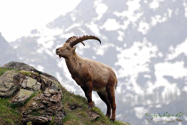 Stambecco..The Alpine Ibex, Capra ibex