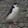 Chinstrap Penguin at Orcadas Base - South Orkney Islands by flash62_au