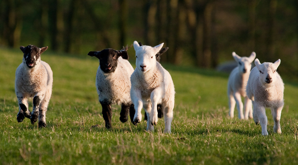 Running lambs | View large | E01 | Flickr