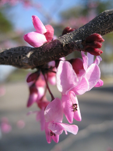 Spring redbud blooms | by sassycrafter
