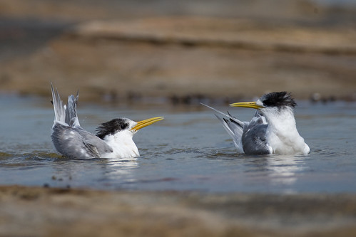 Crested Terns | by Calidris!