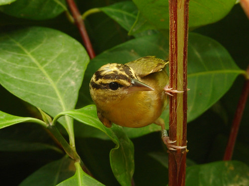 Helmitheros vermivorum-Worm eathing Warbler-San Andrés | by Alonso Quevedo Gil