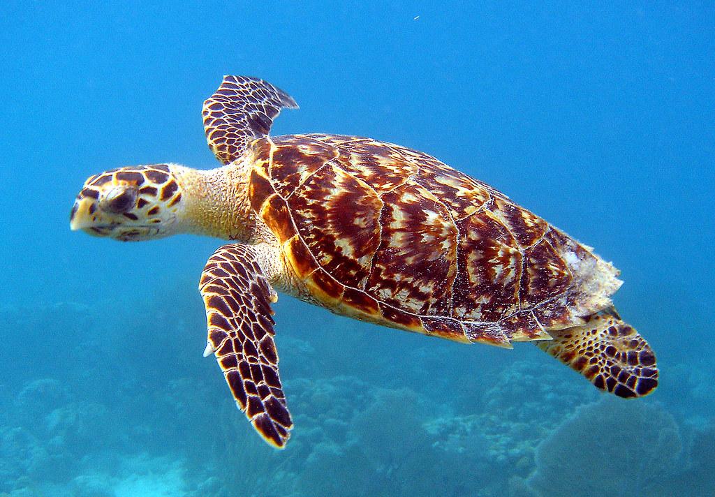 Hawksbill Sea Turtle/ Carey de Concha | Scientific name: Eri… | Flickr
