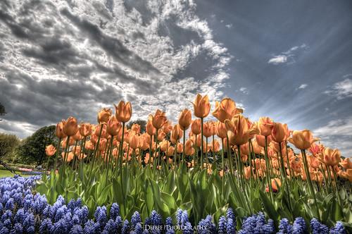 tulip albany deebee albanyny tulipfestival washingtonpark larkstreet deebee|photography