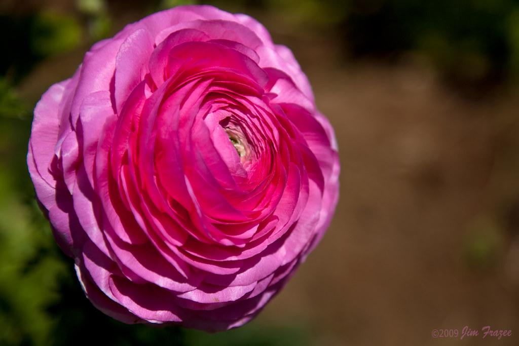 Pink Tecolote Ranunculus by Jim Frazee