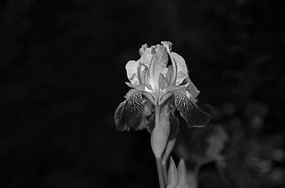 Backlit iris in B&W | by nataraj_hauser / eyeDance