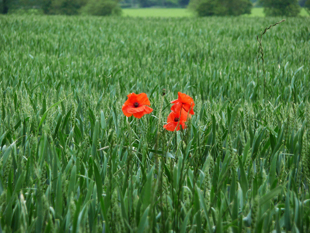 Poppies in cornfield