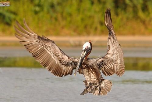 Brown Pelican, open wings   by USFWS/Southeast