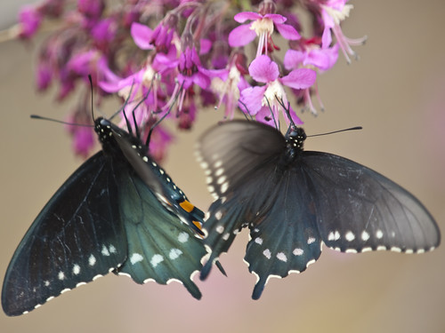 bird austin bill texas bend butterflies observatory 2009 hornsby swallowtail pipevine oriani 50200mmf2835 olympuse3 billoriani