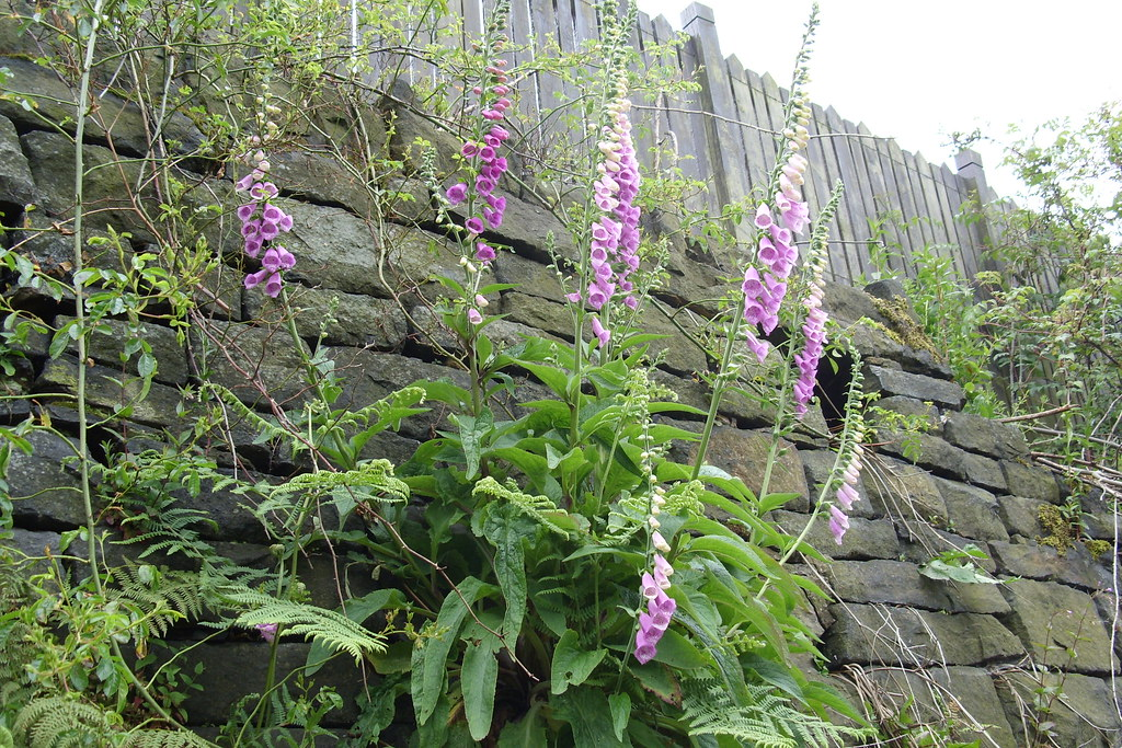 Foxglove Growing out of a dry stone wall | Growing wild on R… | Flickr