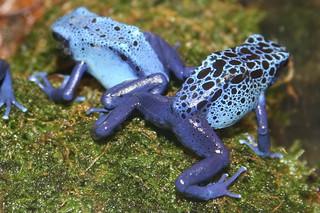 Poison Dart Frog (Dendrobates azureus)   by cliff1066™
