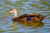 Mottled Duck  Anas fulvigula  by tsiya