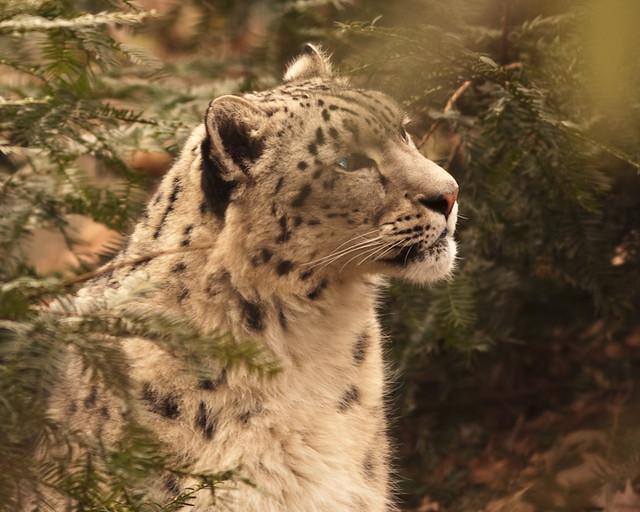 bz_snow_leopard_2-27-09_9097_resized