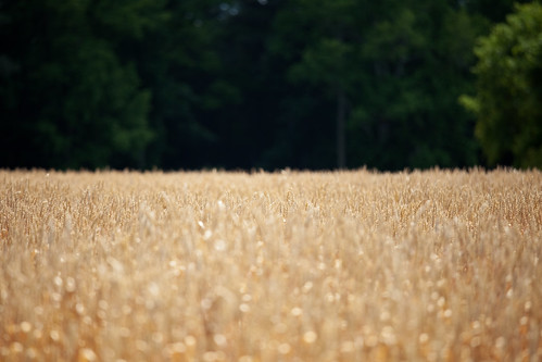 trees light brown plant green canon pretty gorgeous wheat wide pasture crop eternity airy 70200mm isusm eos5dmarkii