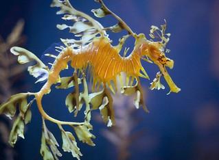 Leafy Sea Dragon | by San Diego Shooter