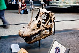 Skull of Brachiosaurus brancai