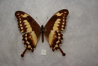 Green-patch Swallowtail