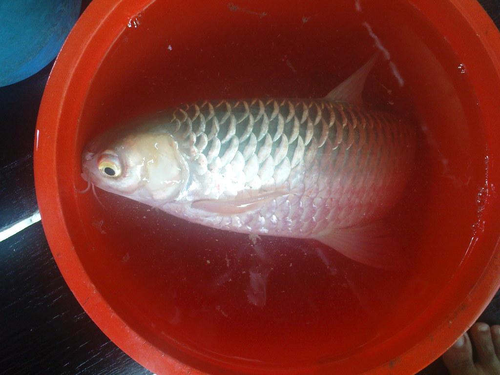 Ikan Kolam